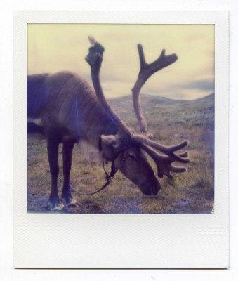 Reindeer, Norway. Polaroid by Florent Dudognon